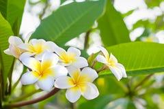 Cory空间,与异乎寻常的热带frangipanni种类羽毛的黄色中心的美妙的芬芳纯净的白色有气味的绽放 免版税库存照片