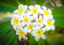 Cory空间,与异乎寻常的热带frangipanni种类羽毛的黄色中心的美妙的芬芳纯净的白色有气味的绽放 免版税库存图片