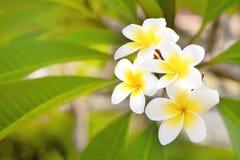 Cory空间,与异乎寻常的热带frangipanni种类羽毛的黄色中心的美妙的芬芳纯净的白色有气味的绽放 免版税图库摄影