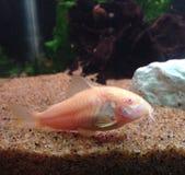Cory Catfish Arkivfoton