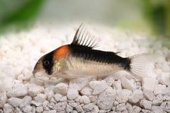 Cory catfish Corydoras duplicareus tropical aquarium fish Royalty Free Stock Photography