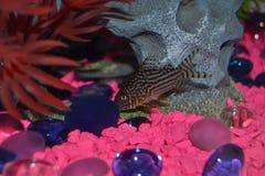 Cory Catfish repéré nageant dans un aquarium photo libre de droits