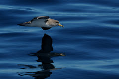 Cory's Shearwater (Calonectris Diomedea) Royalty Free Stock Images