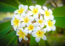 Cory space, Fabulous fragrant pure white scented blooms with yellow centers of exotic tropical frangipanni species plumeria. Flowering in spring adds fragrant royalty free stock images