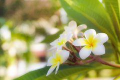 Cory space, Fabulous fragrant pure white scented blooms with yellow centers of exotic tropical frangipanni species plumeria. Flowering in spring adds fragrant royalty free stock photos