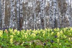 Corydalis amarillo del abedul de la primavera de los Wildflowers Foto de archivo libre de regalías
