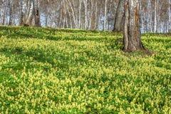 Corydalis amarillo del abedul de la primavera de los Wildflowers Imagen de archivo libre de regalías