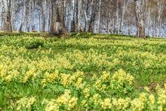 Corydalis amarillo del abedul de la primavera de los Wildflowers Fotos de archivo