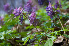 Corydalis blossom Stock Photo