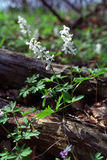 Corydalis bulbosa. A medicinal plant with its used tubers Royalty Free Stock Photography