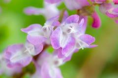 Corydalis Cava nice soft romantic image Royalty Free Stock Photos