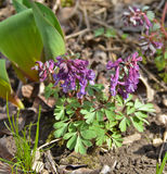 Corydalis cava Stock Images