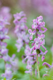 Corydalis cava. In a spring forest Royalty Free Stock Photo
