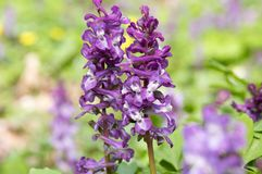 Corydalis cava violet spring flower in bloom. Small purple violet springtime wild forest flowers Stock Image