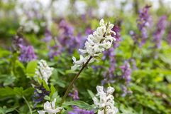 Corydalis cava white and purple spring flowers in bloom. Group of flowers in forest Stock Photos
