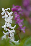 Corydalis cava. White and violet flowers Stock Photo
