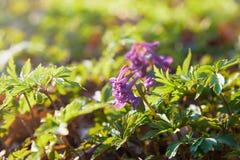 Corydalis cave, fleurs violettes de ressort de corydalis photo stock