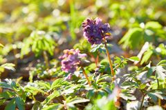 Corydalis cave, fleurs violettes de ressort de corydalis photographie stock libre de droits