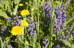 Corydalis dandelions i nepatica Obrazy Royalty Free