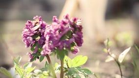 Corydalis di fioritura viola in brezza leggera stock footage