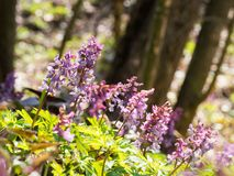 Corydalis flower growing in spring forest. Pink corydalis flowers blooming in the forest on a sunny day Royalty Free Stock Photos