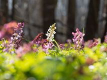 Corydalis flower growing in spring forest. White and purple corydalis flowers blooming in the forest on a sunny day Royalty Free Stock Photos