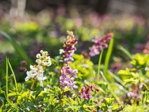 Corydalis flower growing in spring forest. White and purple corydalis flowers blooming in the forest on a sunny day Stock Photos