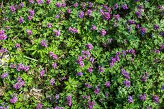 Corydalis flower purple spring forest close up Royalty Free Stock Photography