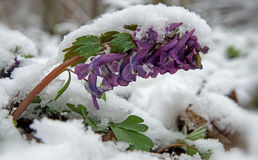 Corydalis flower under snow Stock Photos