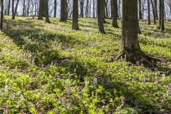Corydalis flowers (Corydalis cava) on the Freeden mountain in Lower Saxony, Germany Royalty Free Stock Photos