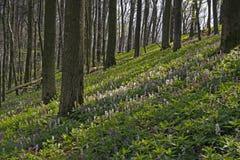 Corydalis flowers in Lower Saxony, Germany Royalty Free Stock Photo