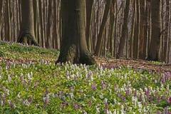 Corydalis (fumewort) flowers in Osnabruecker Land Royalty Free Stock Image