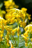 Corydalis lutea. Brilliant yellow tubular flowers on upright stems of Corydalis lutea on a sunny day with a blurred colourful background Royalty Free Stock Images