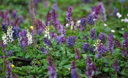 The corydalis massively blooms in the spring forest. Corydalis massively blooms in the wildlife of the spring forest royalty free stock image