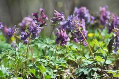 The corydalis massively blooms in the spring forest. Corydalis massively blooms in the wildlife of the spring forest stock photography