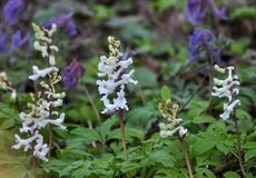 The corydalis massively blooms in the spring forest. Corydalis massively blooms in the wildlife of the spring forest royalty free stock photo