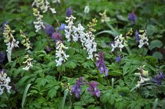 The corydalis massively blooms in the spring forest. Corydalis massively blooms in the wildlife of the spring forest royalty free stock images