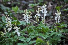 The corydalis massively blooms in the spring forest. Corydalis massively blooms in the wildlife of the spring forest stock images