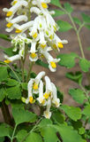 White Corydalis flower. Details of a white corydalis flower in bloom with a background of bright green leaves.  Species:  Pseudofumaria alba Royalty Free Stock Photos