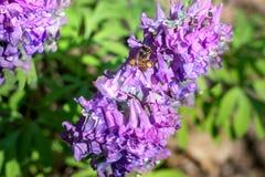 Corydalis púrpura con apis Fotografía de archivo libre de regalías