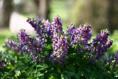 Corydalis in the park. Several inflorescences and leaves of a corydalis created the real natural bouquet Stock Photo