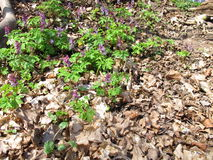 Corydalis plant in spring Royalty Free Stock Photo