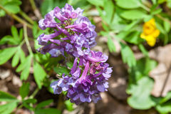 Corydalis purple flowers Stock Photos