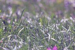 Corydalis purple spring flowers wild. Field Royalty Free Stock Photo