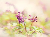 Corydalis soleado de las flores de la primavera en una llave ligera Foto de archivo libre de regalías