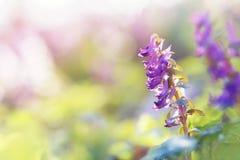 Corydalis soleado de las flores de la primavera en una luz del sol Fotos de archivo libres de regalías