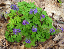 Corydalis solida plants. Flowering purple Corydalis solida plants in spring forest Stock Images