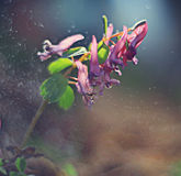 Corydalis spring flower Stock Photography