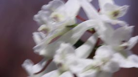 Corydalis stock video