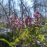 Corydalisbloemen in mening van de de lente de bosclose-up royalty-vrije stock foto's